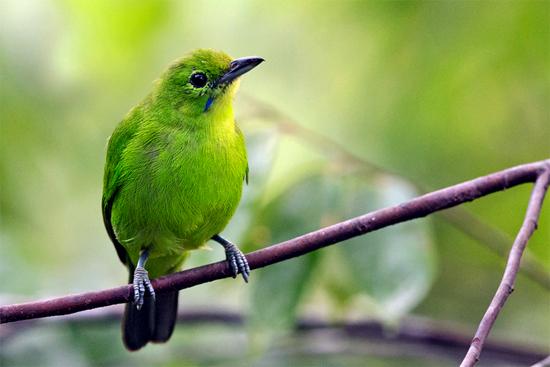 cucak hijau mini betina