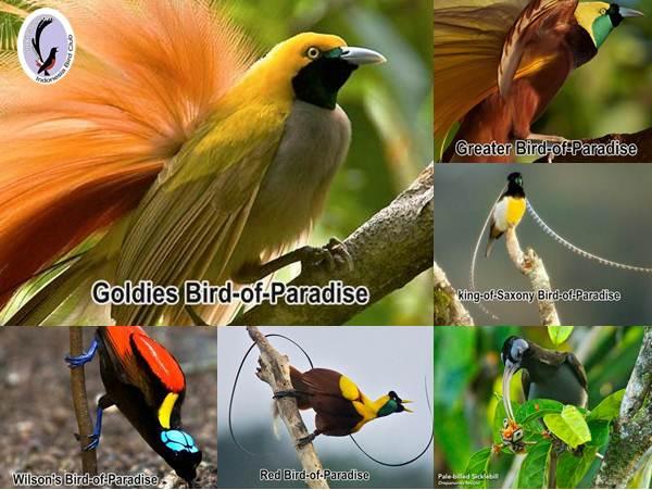 Eksotisme burung surga sebagai plasma nuftah Indonesia
