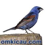 feat blue grosbeak
