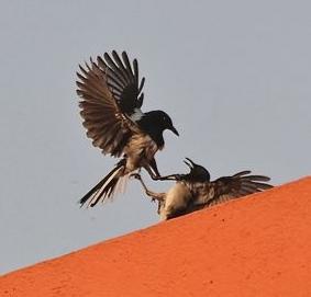 Kacer termasuk burung agresif baik terhadap burung sejenis maupun burung lainnya