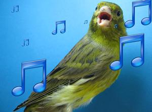 Karakter lagu menjadi ciri khas jenis kenari