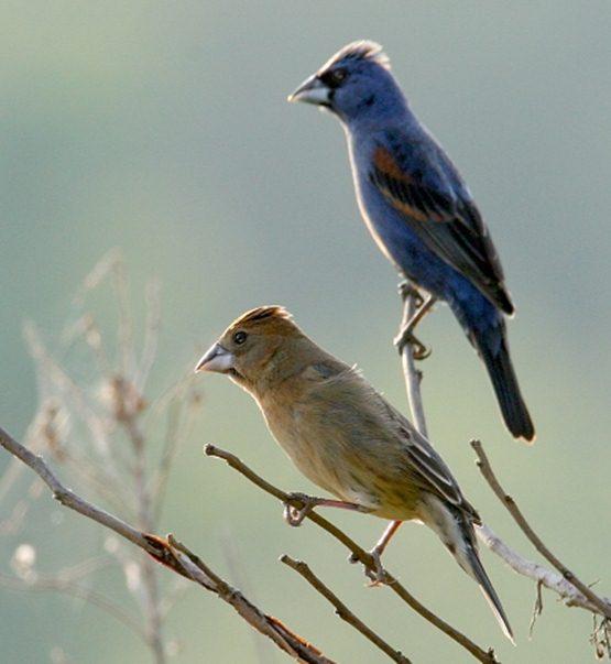 Sepasang burung kardinal biru ( blue grosbeak ) , burung betina berada dipaling bawah