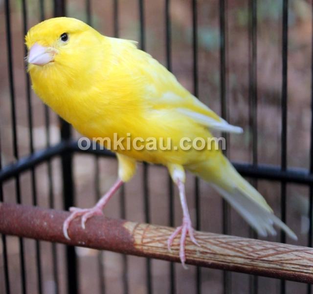 Kenari Janur Kuning