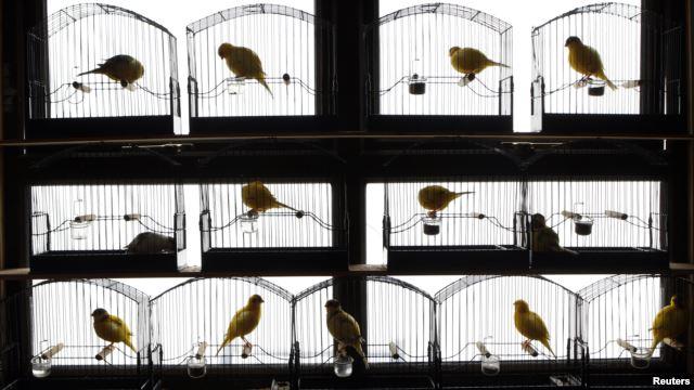 Testosterone sangat mempengaruhi kualitas suara dan kerajinan burung