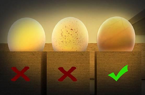 Kondisi telur yang baik sewaktu diteropong