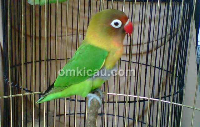 Lovebird Kroax