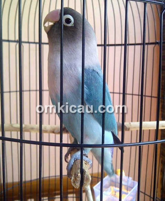 Lovebird Balita