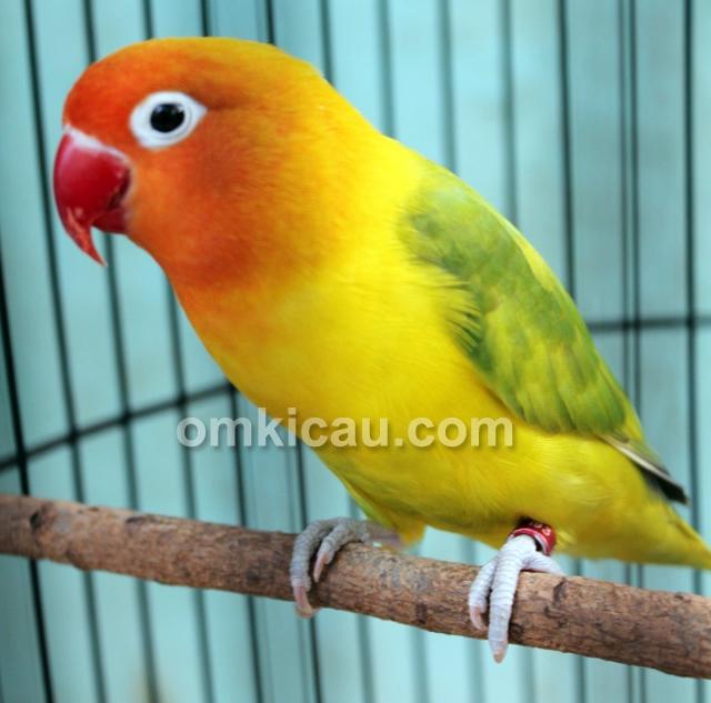 Lovebird Bule milik U-Bye