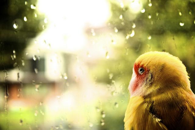 Lovebird rentan sakit pada cuaca yang dingin