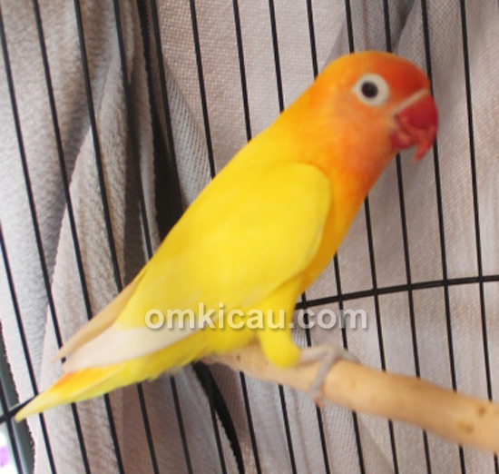 Lovebird Golden Boy