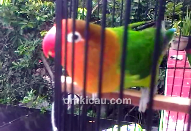 Download suara burung lovebird Star Melinda