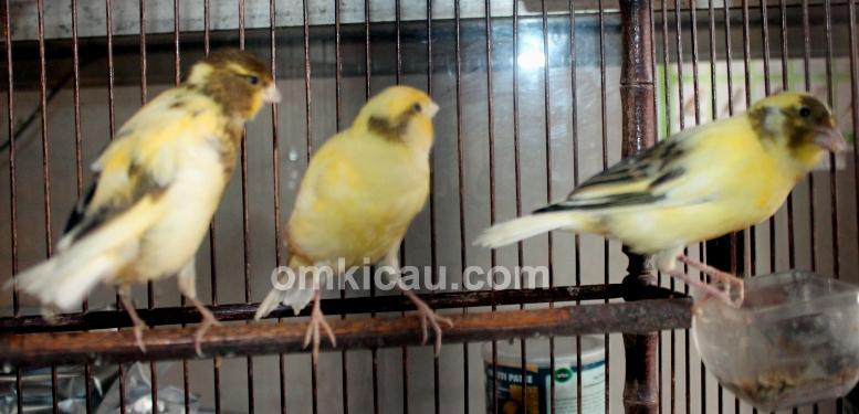 Ifung - Mifta Bird Shop Jakarta Barat