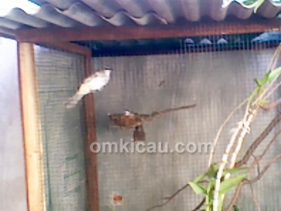 Pasangan induk burung trucukan