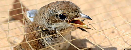 penangkapan burung liar di hutan