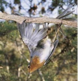 Robin eropa dan juga burung kategori dilindungi sering menjadi korban perburuan di Siprus