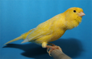 roller canary