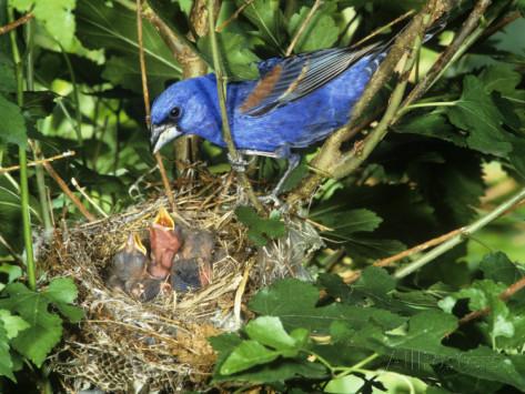 Sarang kardinal biru ( blue grosbeak )