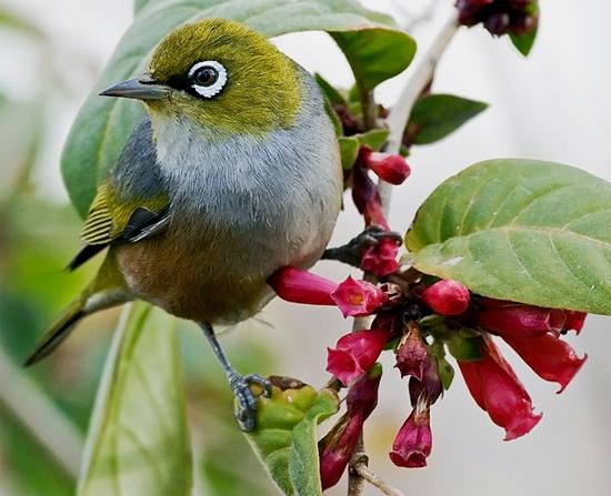 Burung silvereye