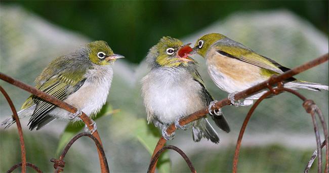 Audio burung silvereye