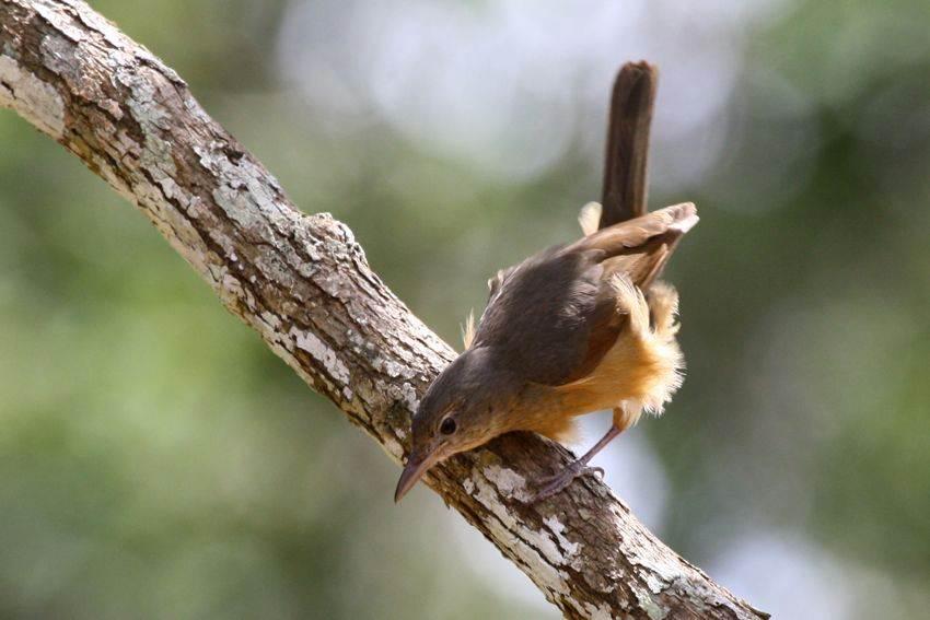 Anis bentet kecil ( Little shrikethrush )