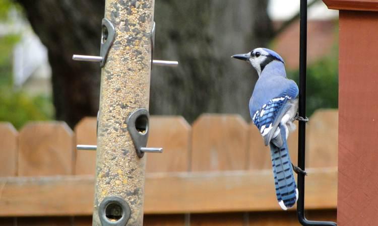 Blue jay sering mengunjungi halaman yang dilengkapi dengan Bird feeders