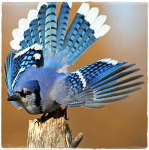 Perilaku unik burung blue jay