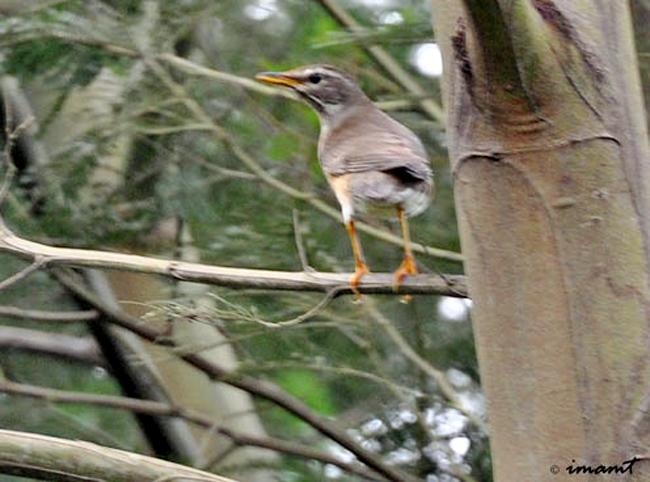 Burung anis kuning