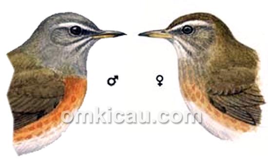 Burung anis kuning jantan dan betina