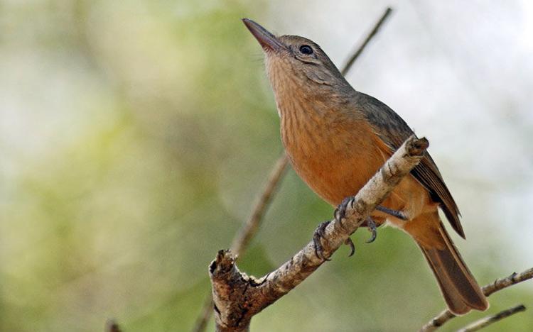 burung anisbentet kecil2