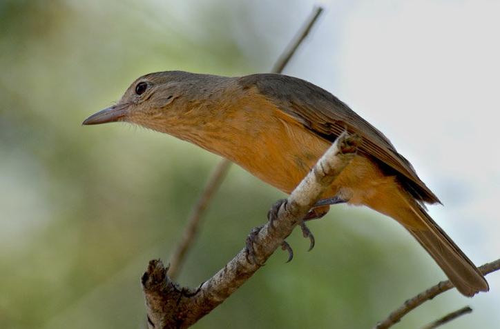 burung anisbentet kecil3