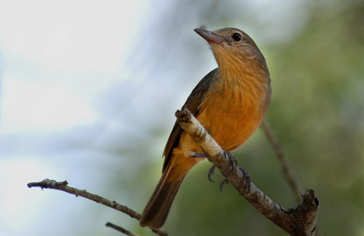 Burung anisbentet kecil