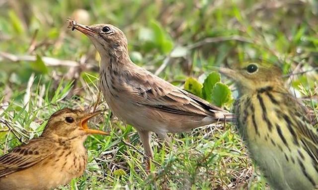 Mengenal jenis burung apung di Indonesia
