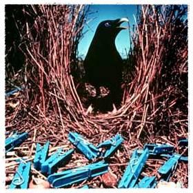 Burung bowerbird