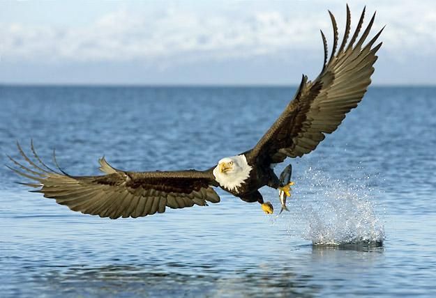 Burung elanglaut bald