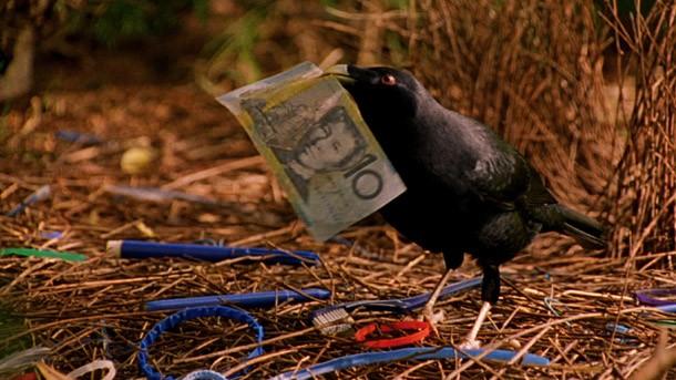 Burung jantan akan beusaha mencari barang-barang bagus untuk diberikan pada burung betina