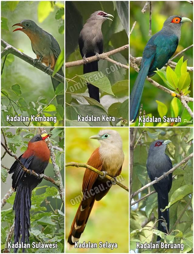 Berbagai spesies burung Malkoha atau Kadalan dari Indonesia