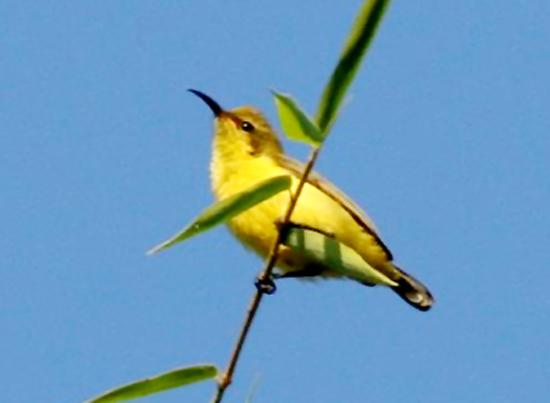 Audio Burung Madu Matari Untuk Masteran Pleci