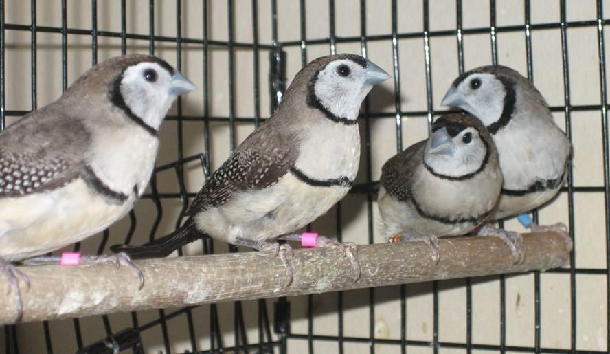 Burung Owl finch atau Bicheno finch (Poephila bichenovii)