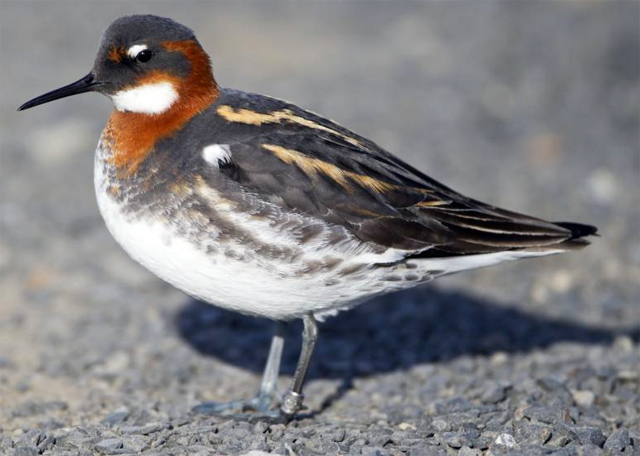 burung phalarop leher-merah betina
