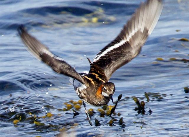 burung phalarop leher-merah