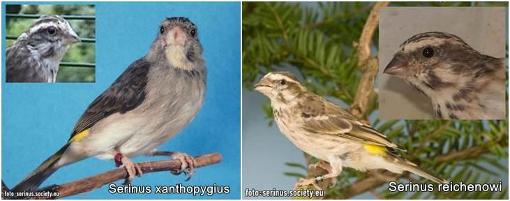 Perbedaan diantara dua spesis Serinus Xanthopygius (kiri) dan Reichinowi