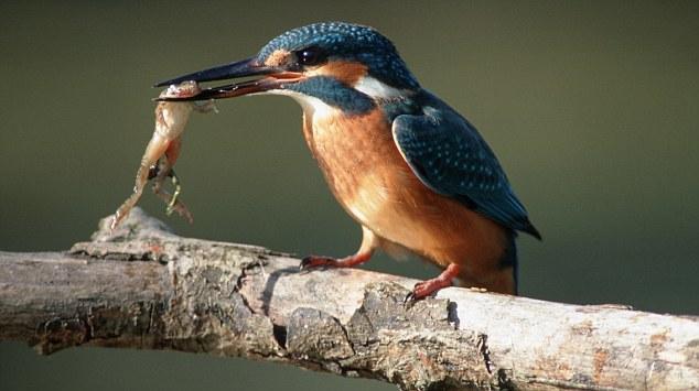 Semua jenis burung cekakak termasuk burung yang dilindungi