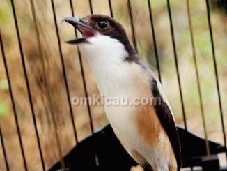 cara merawat burung cendet