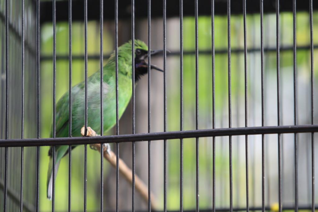Cucak Hijau termasuk burung yang memiliki karakter yang labil