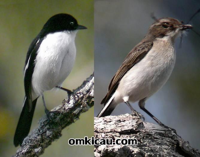 Decu Timor jantan sebelah kiri memiliki warna hitam putih sedangkan betina bearna coklat dan bagian bawah putih gelap