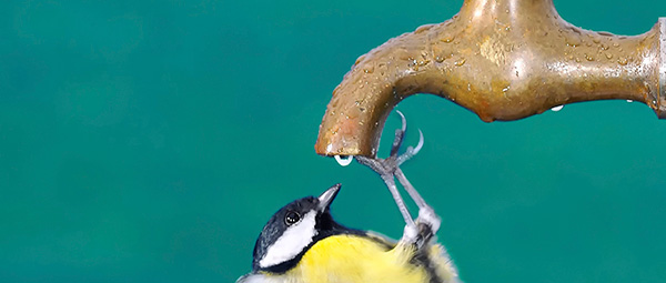Jangan melupakan air minum pada burung peliharaan anda
