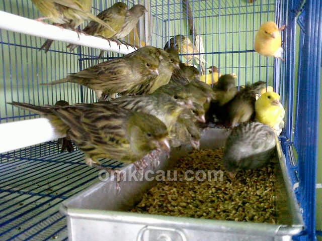 emy Canary Bogor