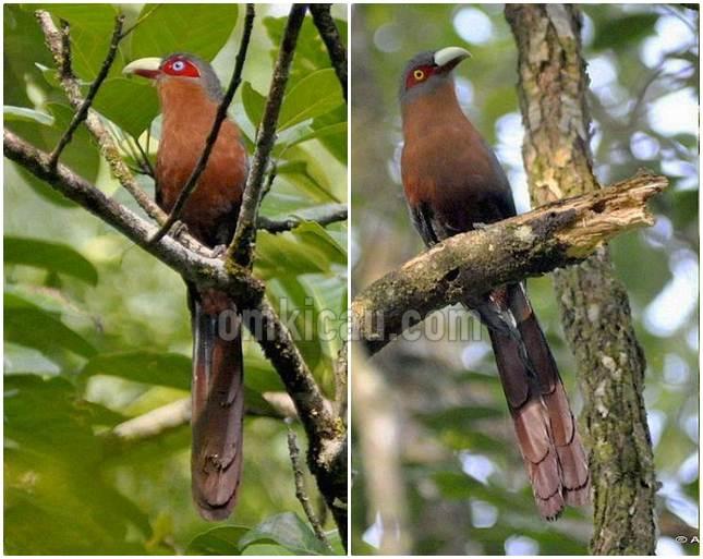 Kadalan birah jantan (kiri) dengan iris mata biru dan burung betina dengan iris mata putih kekuningan
