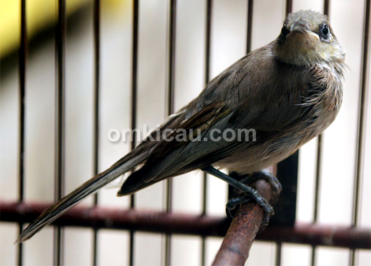 Burung kecial kombo di PB Depok Solo