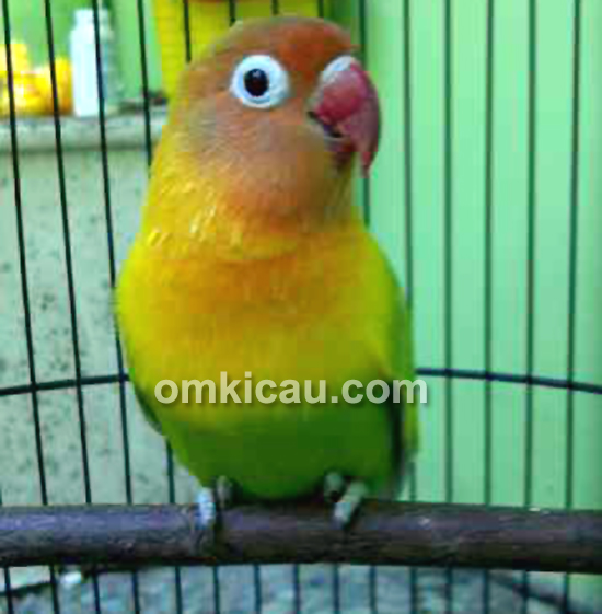 Lovebird Anggun